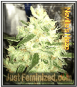 Neville's Haze cheap feminized cannabis single seed from amsterdam